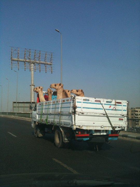 Camels field trip